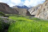 Barley field along the Markha Valley trek