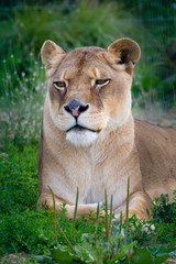 Lioness laying down