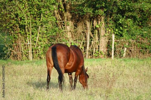 cheval brun en train de manger