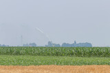 Green Corn Field. Green corn growing on the field, blue sky and sun - 236873246