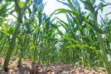 Green corn growing on the field. Green Corn Plants. - 236873655