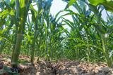 Green corn growing on the field. Green Corn Plants. - 236873832