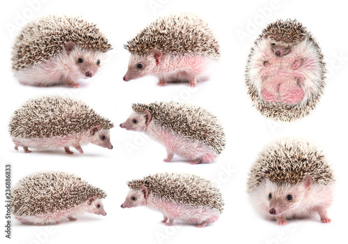 african pygmy hedgehog isolated