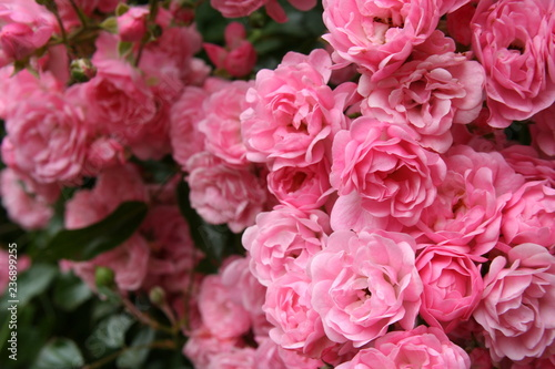 Rose - Miniature Pink - 236899255
