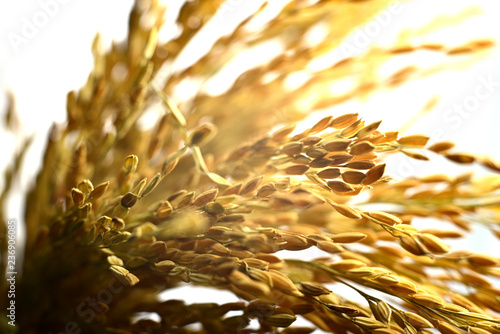 Yellow paddy rice grain isolated on white background - 236906085