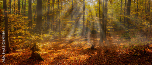 Beautiful Scene Misty Old Forest with Sun Rays, Shadows and Fog. Panorama - 236914836