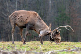 Roe deer fight the root of the tree