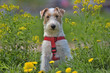 White with red airedale terrier