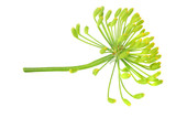 fresh dill flower isolated on white background - 236946014