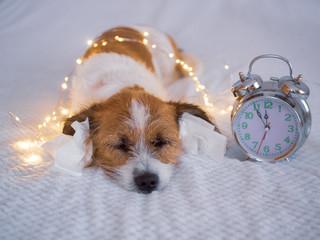 Silvester, Countdown - Kleiner Terrierhund mit Papiertaschentuch im Ohr und Lichterkette auf einem Bett © Sonja