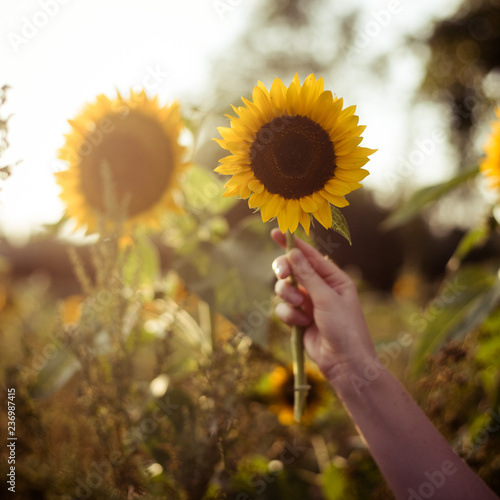Leinwandbild Motiv hand mit sonnenblume