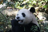 Close up Panda's Face while eating Bamboo Leaves