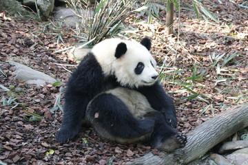 Panda is Posing Funny, Panda Valley, China