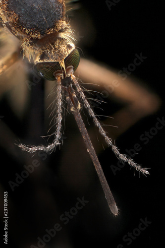 Aedes Vexans - 237009453