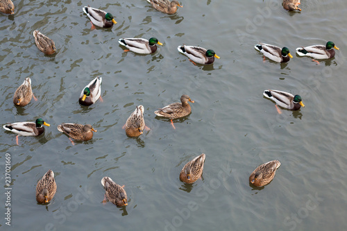 Foto Murales Ducks on the river