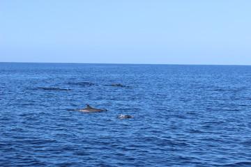 Dauphins en liberté dans les caraïbes © FABIEN LOUVET