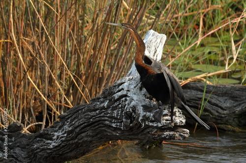 Leinwandbild Motiv Kormoran im Chobe Nationalpark von Botswana