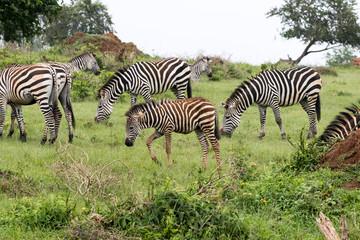 A zebra herd feeding on the grass
