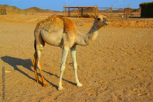Plakat Camel in Egypt Sahara