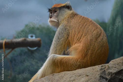 Plakat Patas monkey on a rock