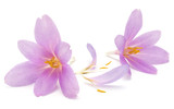 lilac crocus flowers isolated on white background - 237045659