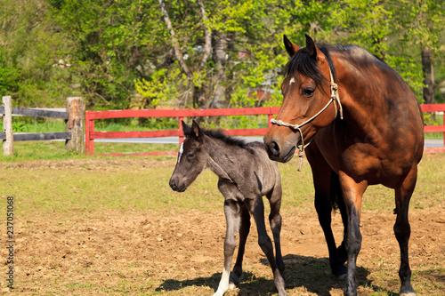 Paso Fino Mare Horse and Colt at a Farm