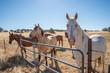 Quarter horse herd at fence in golden california pasture