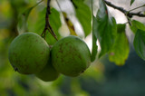 Apple tree branches Malus pumila with group of ripening fruits, green golden delicious apples