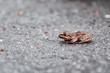 Lake frog (Pelophylax ridibundus) sitting on the road gray