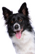 Black and white border collie dog - 237067203
