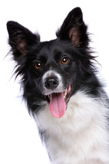Black and white border collie dog © Erik Lam