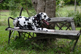 Dalmatian puppy sitting on a garden seat