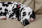 Dalmatian puppy lying on a sofa with puppy dog eyes