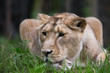 Female lion resting on grass