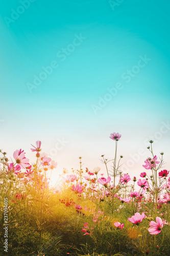 Beautiful cosmos flowers in garden background. - 237094605