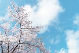 桜 - 237102858