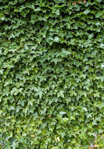 green leaves covered wall texture background