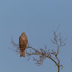black kite (milvus migrans) sitting on branch, blue sky