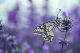 Lavender flowers with butterfly