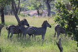 zebra in africa - 237132497