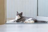 Cute British short-haired cat - 237137002