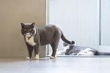 Cute British short-haired cat - 237137057