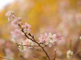 四季桜の花 - 237144098