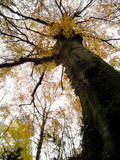albero di faggio (Fagus sylvatica) visto dal basso - 237148471