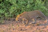 leopard walking in the bush in chobe botswana