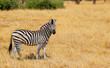 one lone zebra stood in hwange nature reserve