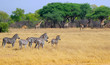 small herd of zebras in hwange nature reserve zimbabwe