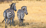 two zebras side by side  facing away in hwange nature reserve zimbabwe