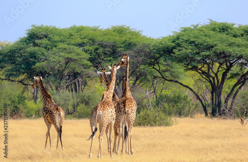 four giraffes wandering on plains of hwange nature reserve in zimbabwe