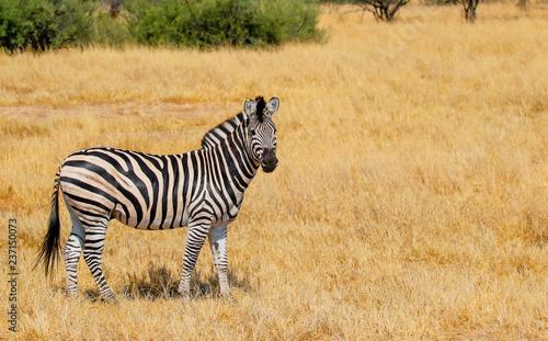 one lone zebra stood in hwange nature reserve - 237150073